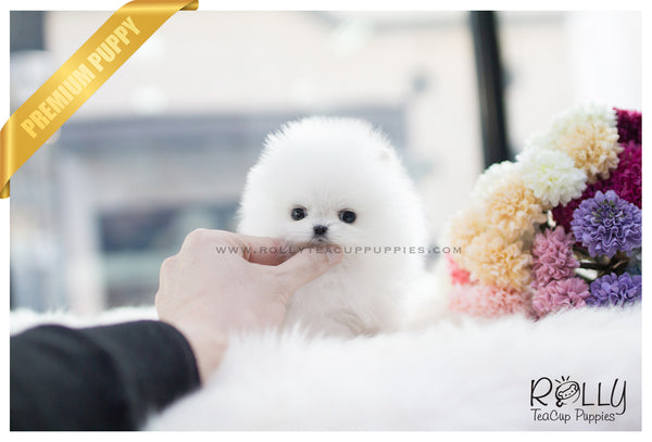 (SOLD to Lau) Celine - Pomeranian. F