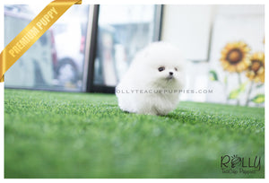 (SOLD to Lau) Celine - Pomeranian. F - Rolly Teacup Puppies - Rolly Pups