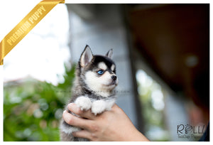 (SOLD to Goh) Chanel - Pomsky. F - Rolly Teacup Puppies