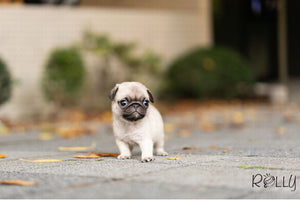 (Purchased by Beninati) Chanel - Pug. F - Rolly Teacup Puppies - Rolly Pups