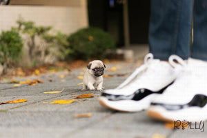 (Purchased by Beninati) Chanel - Pug. F - Rolly Teacup Puppies