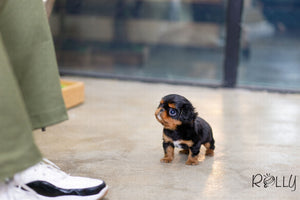 (Purchased by Jan) Charlie - King Charles. M - Rolly Teacup Puppies - Rolly Pups