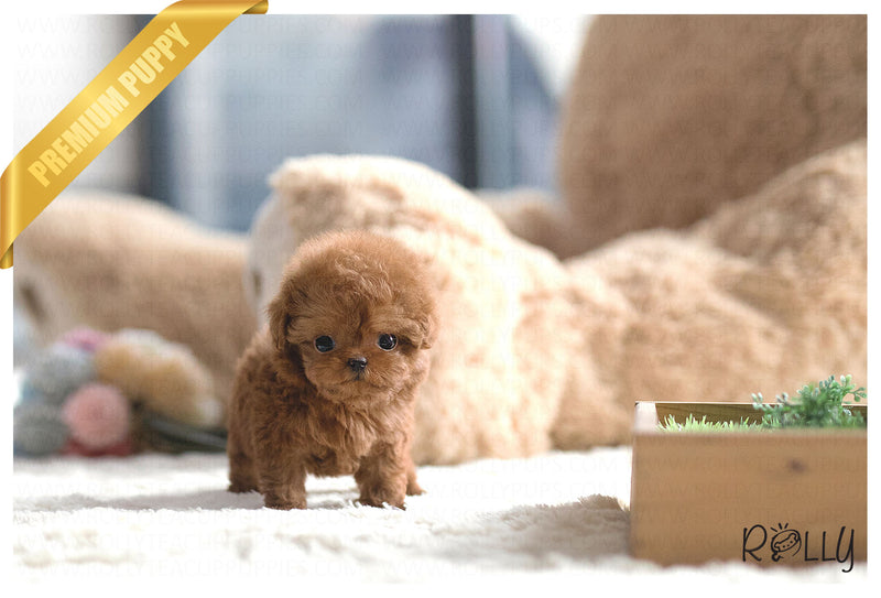 (Purchased by Ji) Cherry - Poodle. F - Rolly Teacup Puppies