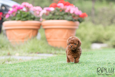 (SOLD to Latipova) Cherry - Poodle. F
