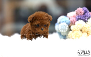(SOLD to Ryans) Cherry - Poodle. F - Rolly Teacup Puppies