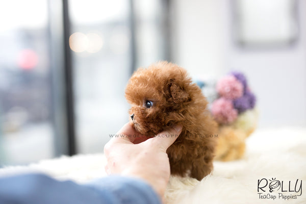 (SOLD to Cuadrado) Cherry - Poodle. F