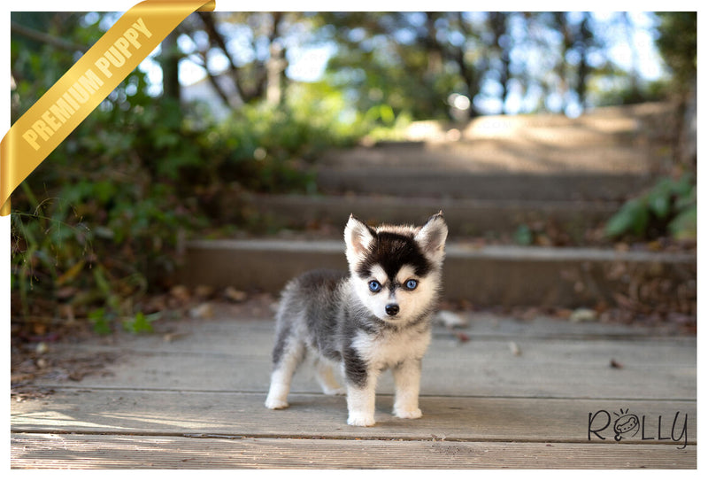 (PURCHASED by Chaumet) CHIBI - Pomsky. M - Rolly Teacup Puppies - Rolly Pups