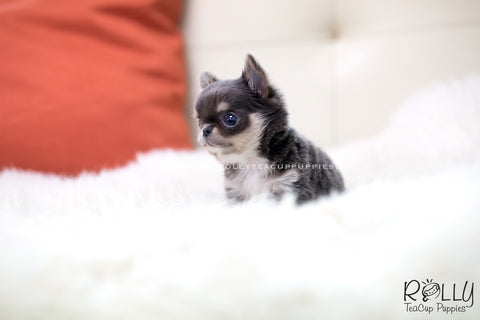 (RESERVED to Youu)Louis - Chihuahua. M