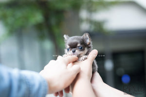 (SOLD to Youu)Louis - Chihuahua. M - Rolly Teacup Puppies - Rolly Pups