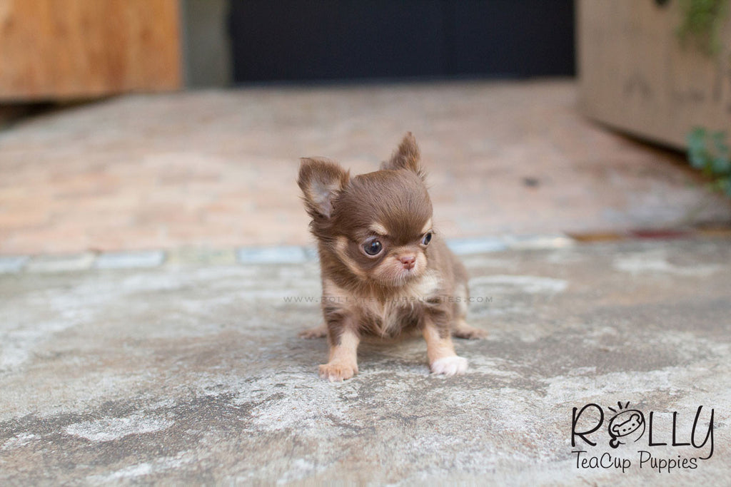 Ariel - Chihuahua - Rolly Teacup Puppies