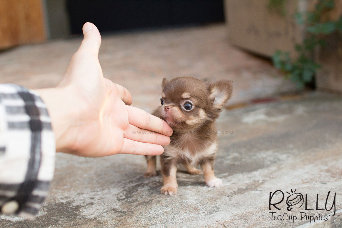 Ariel Chihuahua Rolly Teacup Puppies