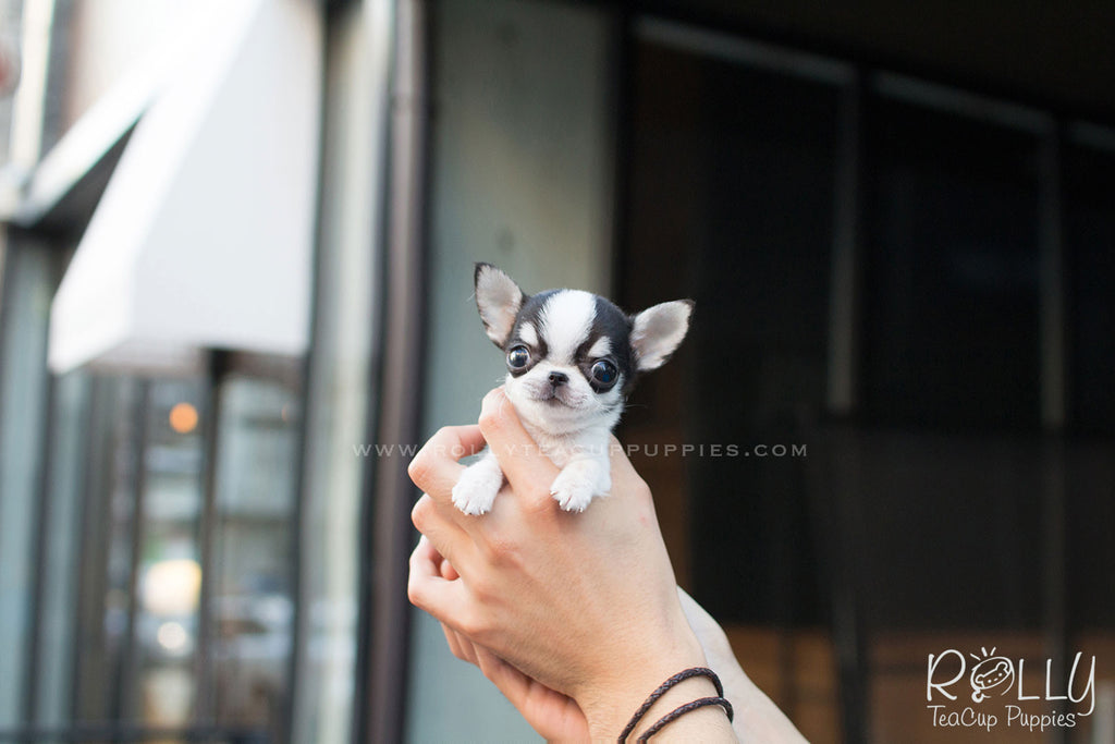 Diego - Chihuahua. M - Rolly Teacup Puppies