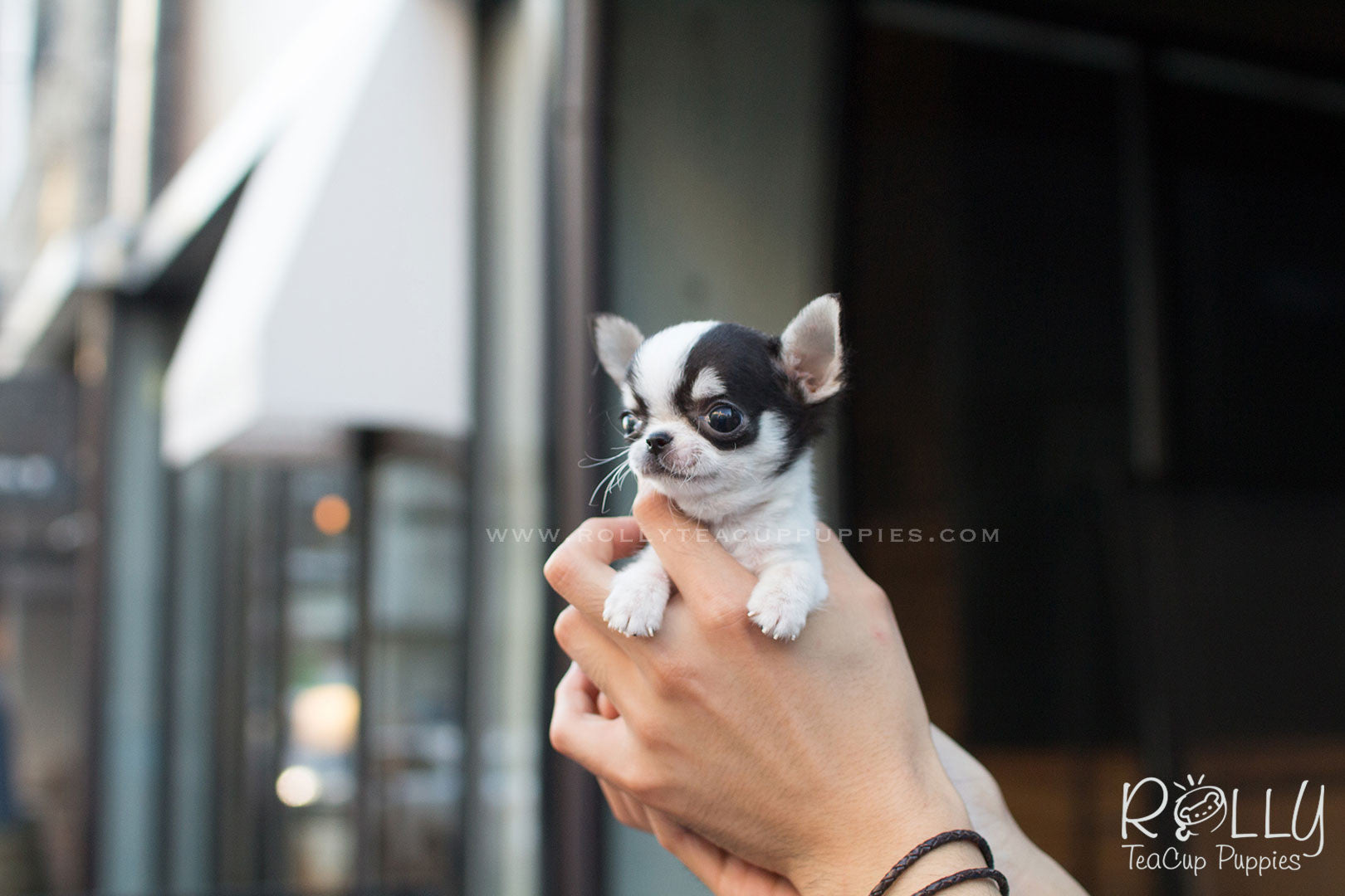 Diego Chihuahua M Rolly Teacup Puppies