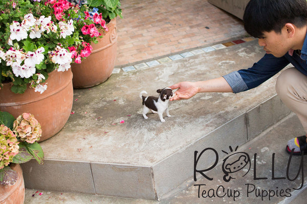 Didier - Smooth Coat Chihuahua - Rolly Teacup Puppies