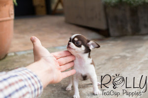 Didier - Smooth Coat Chihuahua - Rolly Teacup Puppies - Rolly Pups