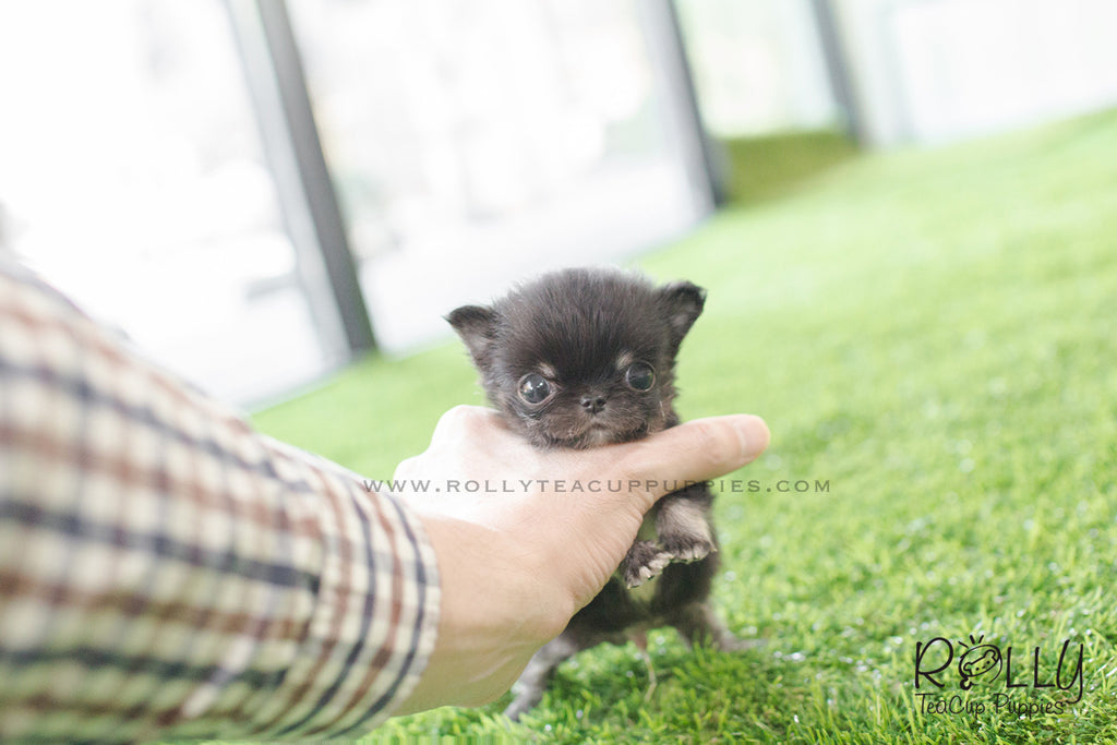 Pablo - Chihuahua. M - Rolly Teacup Puppies