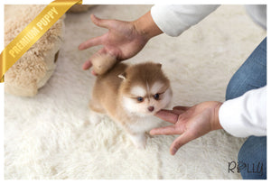 (Purchased by Gignac) Chili - Pomsky. M - Rolly Teacup Puppies