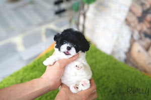 (PURCHASED by AlMahmoud) CHIP - Poodle. M - ROLLY PUPS INC