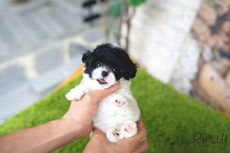 (Reserved by AlMahmoud) CHIP - Poodle. M - Rolly Teacup Puppies