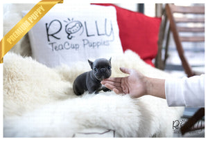 (Reserved by Gu) Chloe - French. F - Rolly Teacup Puppies