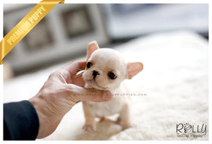 (SOLD to Barrett) Chloe - French Bulldog. F - Rolly Teacup Puppies - Rolly Pups