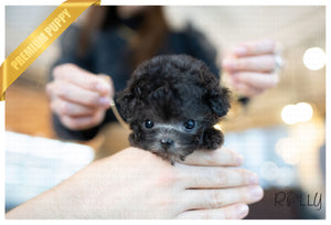 (PURCHASED by Torres) CHLOE - Poodle. F - Rolly Teacup Puppies - Rolly Pups