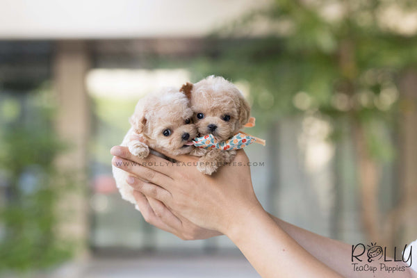 (SOLD to Rampersad) Chloe - Poodle. F - Rolly Teacup Puppies
