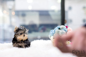 (SOLD to Topushyan) Chloe - Yorkie. F - Rolly Teacup Puppies