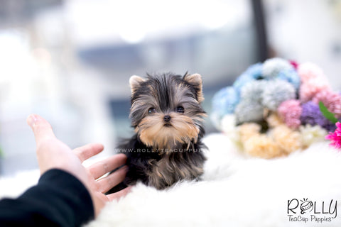 (SOLD to Topushyan) Chloe - Yorkie. F