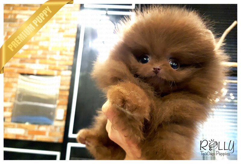 (SOLD to Grigore) Chocolate - Pomeranian. M - Rolly Teacup Puppies