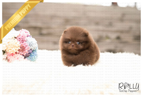Chocolate - Pomeranian. M - Rolly Teacup Puppies