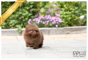 (SOLD to Grigore) Chocolate - Pomeranian. M - Rolly Teacup Puppies - Rolly Pups