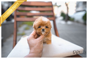 (PURCHASED by Perelstein) CHOUX - Maltipoo. F - Rolly Teacup Puppies - Rolly Pups