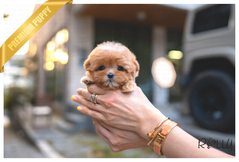 (RESERVED by Perelstein) CHOUX - Maltipoo. F - Rolly Teacup Puppies - Rolly Pups
