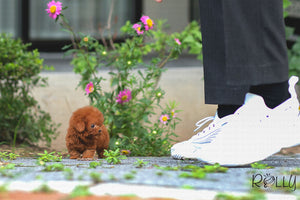 (Purchased by Almaktoum) Cici - Poodle. F - Rolly Teacup Puppies
