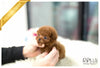 (Purchased by Santa) Cinnamon - Poodle. F - Rolly Teacup Puppies - Rolly Pups