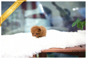 (Purchased by Santa) Cinnamon - Poodle. F - Rolly Teacup Puppies