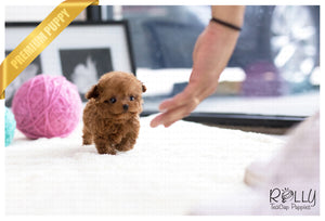 (SOLD to Hughes) Cinnamon - Poodle. F - Rolly Teacup Puppies