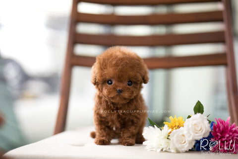 (SOLD to Shkolnikov) Cinnamon - Poodle. F
