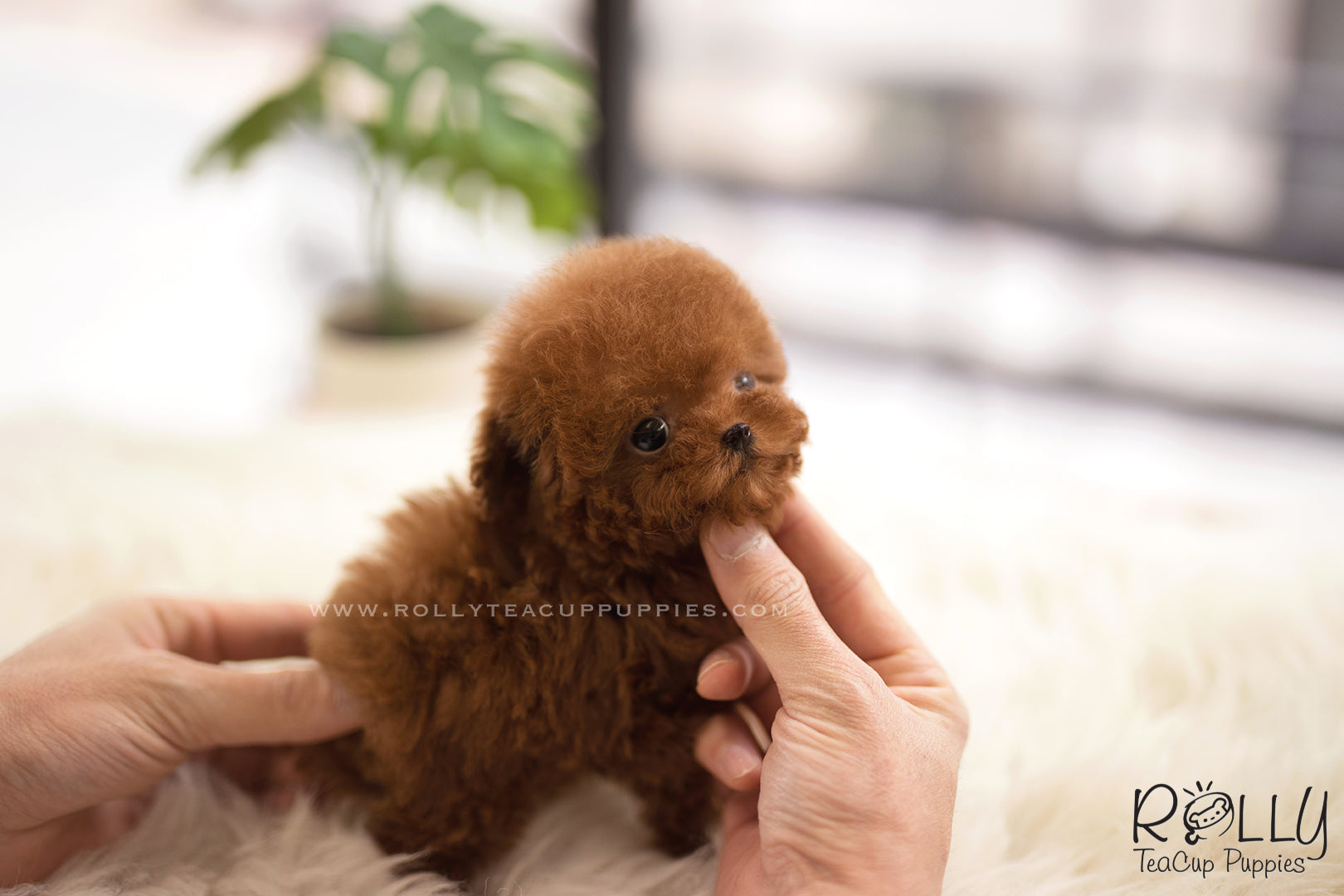 Sold To Shkolnikov Cinnamon Poodle F Rolly Teacup Puppies