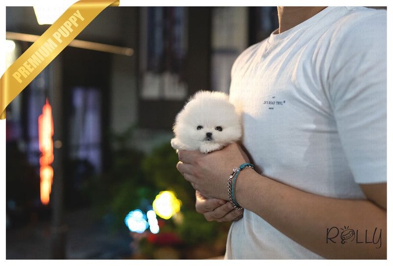 (PURCHASED by Almeida) CLOUD - Pomeranian. M - ROLLY PUPS INC