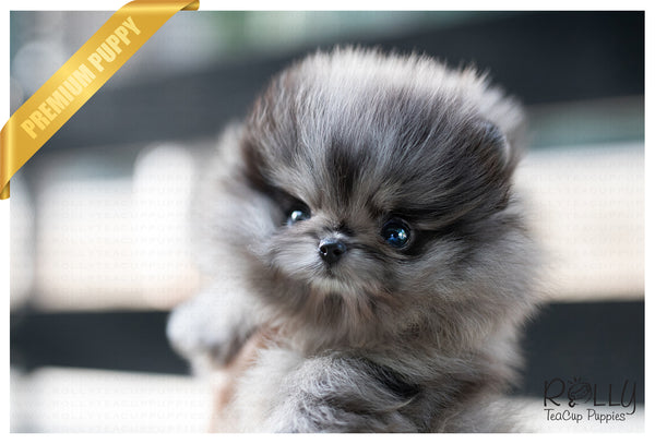 (SOLD to Sandra) Cloud - Pomeranian. M - Rolly Teacup Puppies