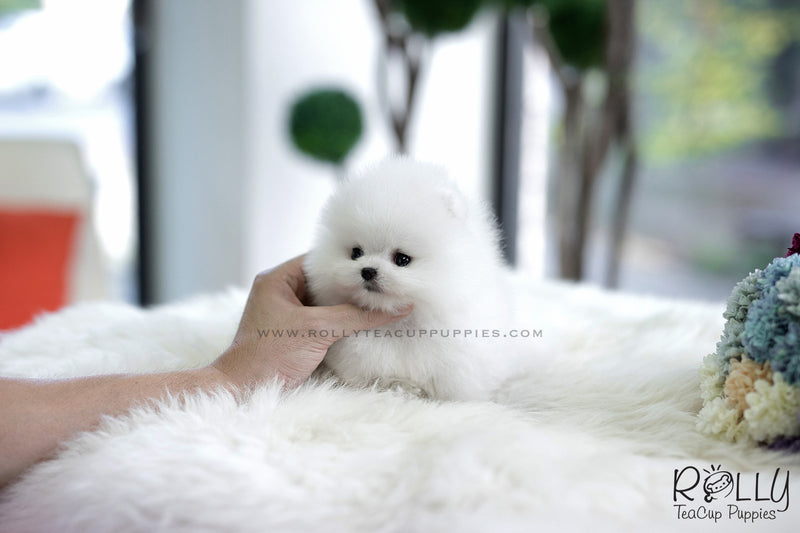 (SOLD to Charles) Cloud - Pomeranian. M - Rolly Teacup Puppies