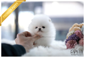 (SOLD to Zhu) Cloud - Pomeranian. M - Rolly Teacup Puppies