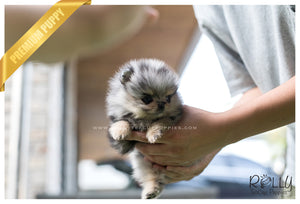 (SOLD to Delgado)Cobalt - Pomeranian. M - Rolly Teacup Puppies