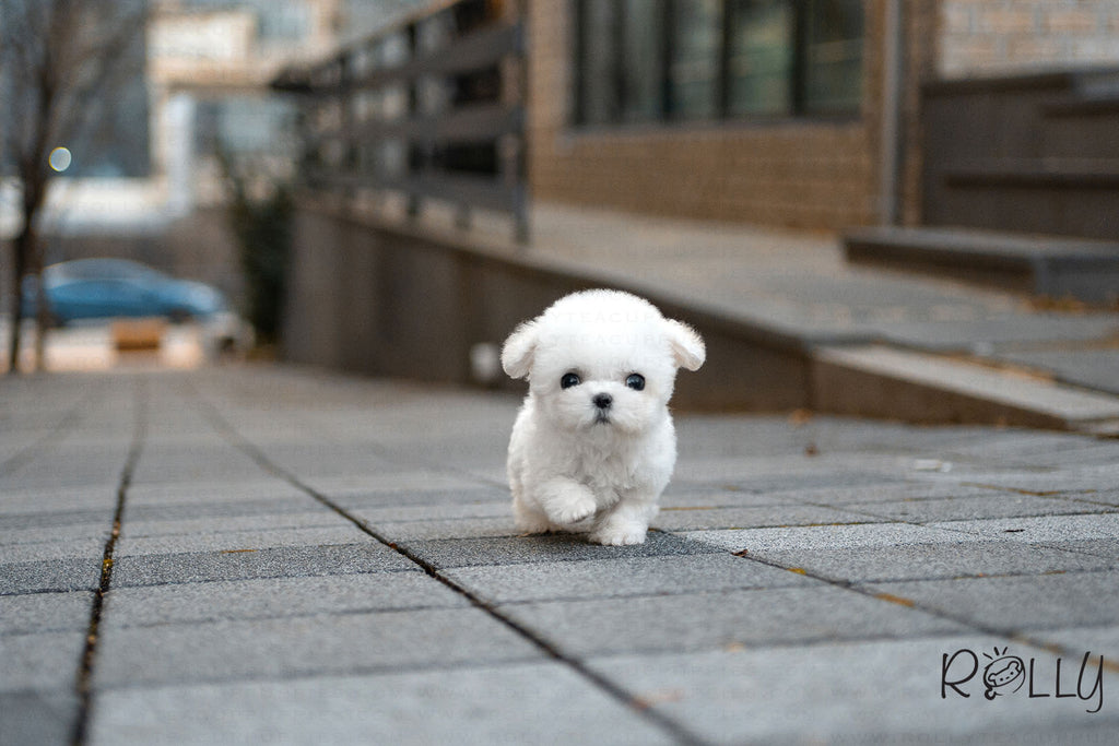 (Purchased by Chen) Coco - Bichon. F - Rolly Teacup Puppies