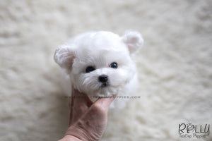 (SOLD to Kate) Coco - Bichon. F - Rolly Teacup Puppies - Rolly Pups