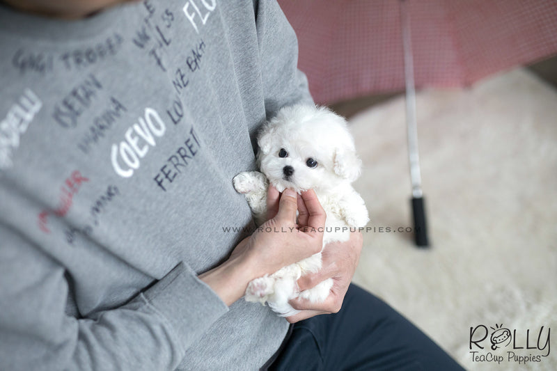 (SOLD to Kate) Coco - Bichon. F - Rolly Teacup Puppies