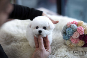 (Purchased by Rue) Coco - Bichon. M - Rolly Teacup Puppies - Rolly Pups