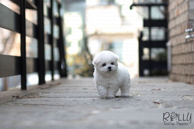 (Purchased by Rue) Coco - Bichon. M - Rolly Teacup Puppies